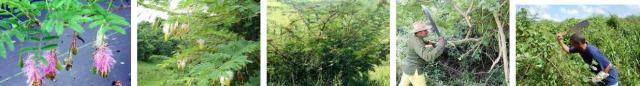 Marabú en Cuba