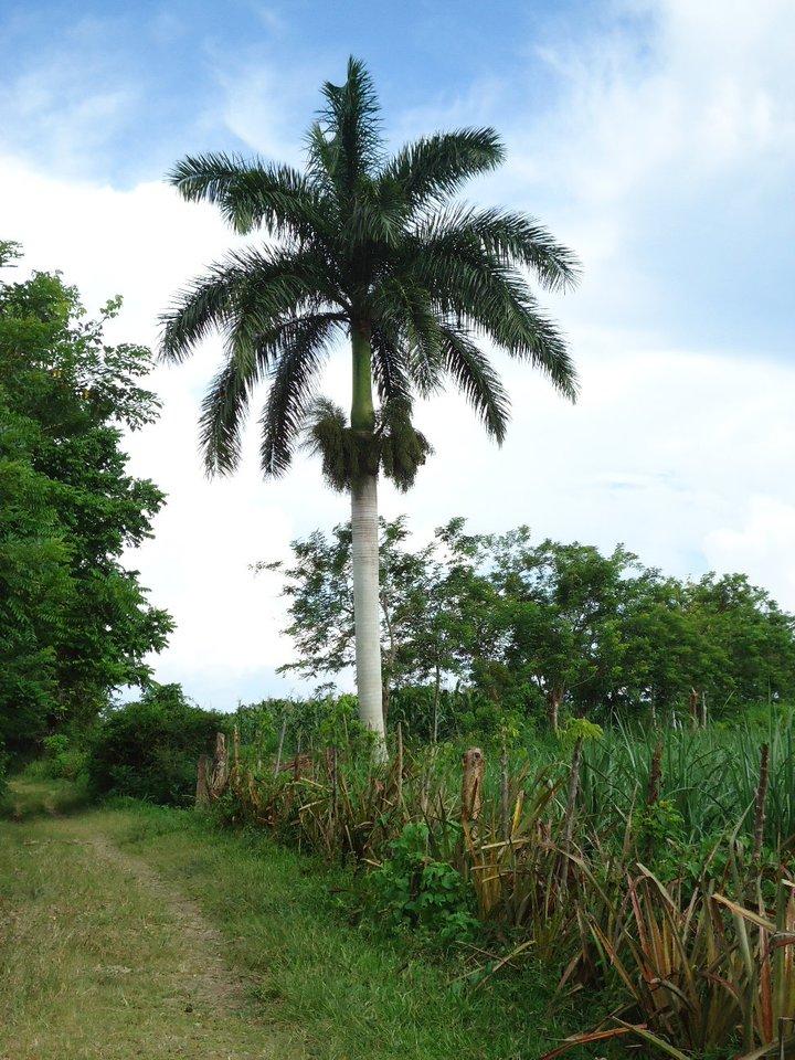de donde crecen las palmas