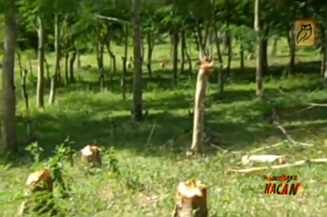 Tala de árboles reforestados