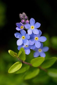 Flores de nomeolvides